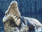 crocodile050101_145x111