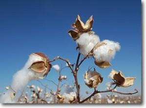 CottonPlantsm